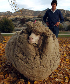 castrated male sheep  in