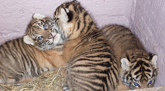 Pictures Of Tigers And Cubs. The three tiger cubs born