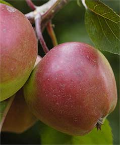Export apples