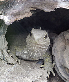 IS IT SAFE TO COME OUT:  Ninteen-year-old Jainie peeking out of her cave at the Southland Museum's tuatara enclosure.