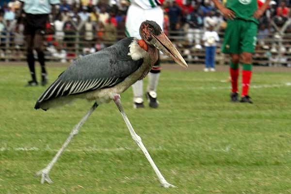 A Marabou stork walks on the football pitch and briefly interrupts the Kenya versus Morocco World Cup qualifier match in Nairobi, Kenya.