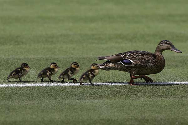 A duck and her ducklings walk onto a court at the Wimbledon tennis championships in London
