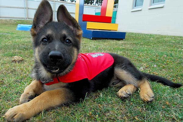 Guide Dog Puppies Real Cute With A Purpose Stuff Co Nz