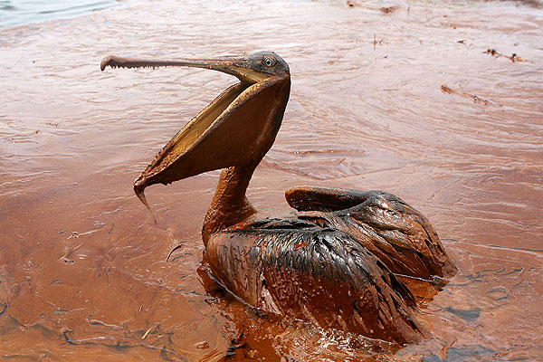 Pelican sits in oil