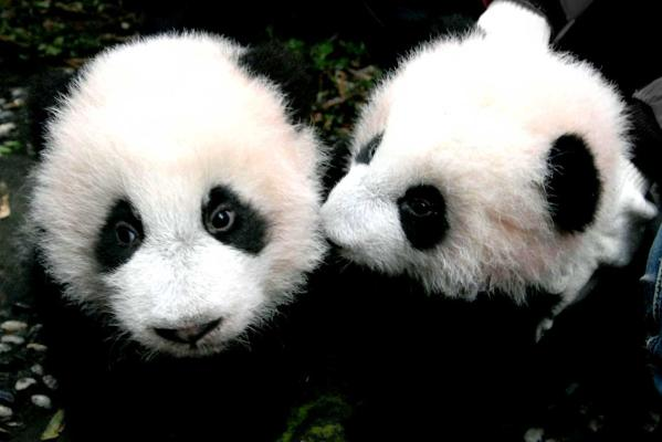 Giant Pandas For New Zealand Stuff Co Nz