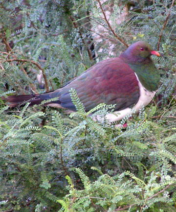AT RISK: A rapid drop in the kereru population is affecting the regeneration of  native trees that rely on kereru to disperse seeds.