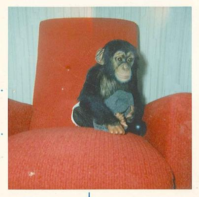 Sally the chimp