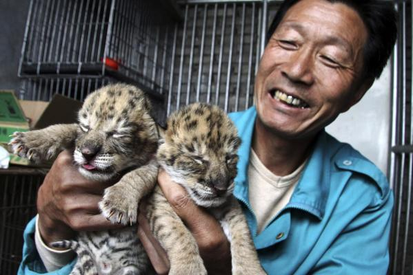 A zoo worker shows the two liger cubs at a zoo in Weihai in east China's Shandong province that are now being nursed by a dog.