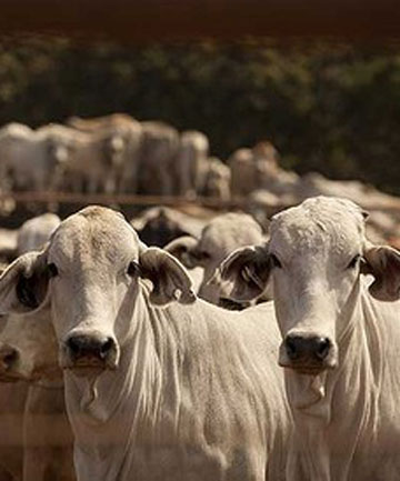 SUPPLY CHAIN: Up to 5000 cattle that were marked for export wait in limbo at an export yard south of Darwin.