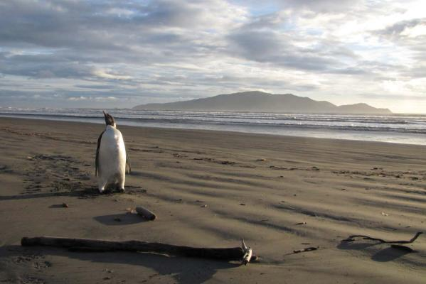 Emperor penguin on Peka Peka Beach