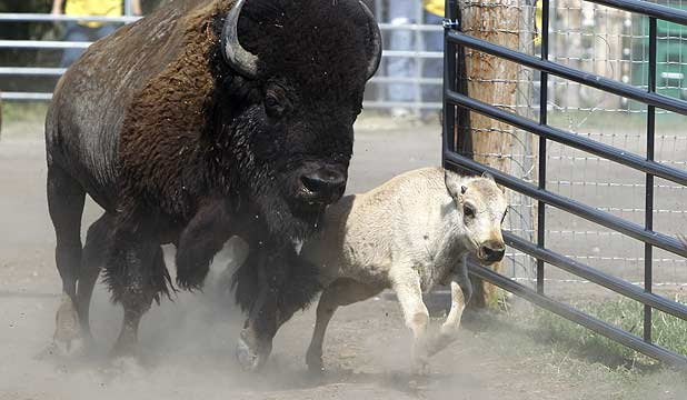 A rare white buffalo born in Texas called Lightning Medicine McCloud runs into a corral for its naming cere