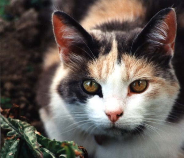 Gallery Multi Colored Cat Breeds