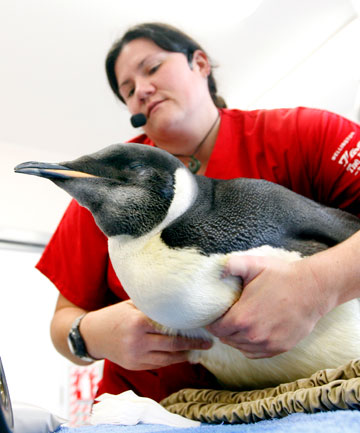 Happy Feet, the emperor penguin who captured public attention.
