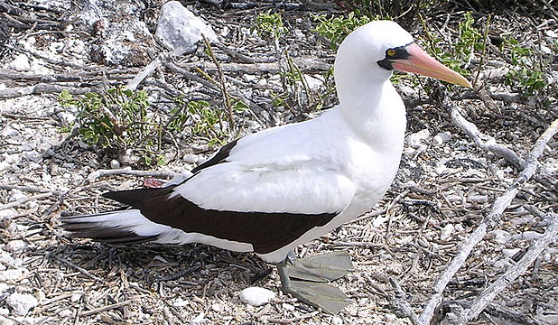 NATURAL SELECTION: Nazca booby.