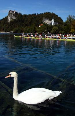 A swan makes way on Lake Bled as crews prepare for the rowing world championships.