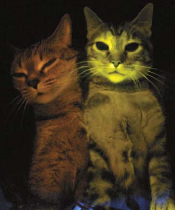 Glowing genetically modified HIV research cat