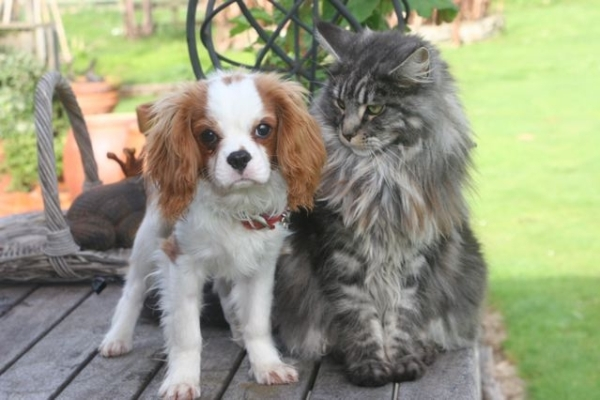 Maine coon breeders in nz