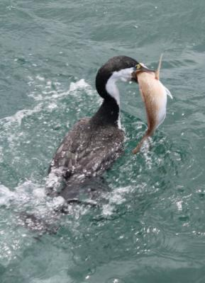 BIG CATCH: A seabird snags a fish in the Hauraki Gulf.