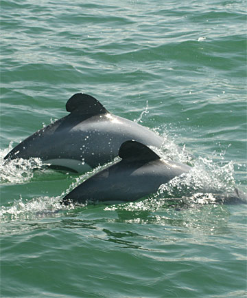 IN DANGER: A Conservation Department report into the critically endangered Maui's dolphin has yet to be released, but the Sunday Star-Times understands it will show the population has declined to a devastating point.
