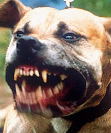 Pit Bulls Bad Owners Scary Mix Stuff Co Nz
