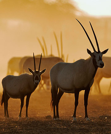 Arabian oryx on Sir Bani Yas, Abu Dhabi