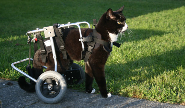 blacky the wheelchair cat