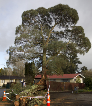 Firefighters cut the tree up to give one lane access