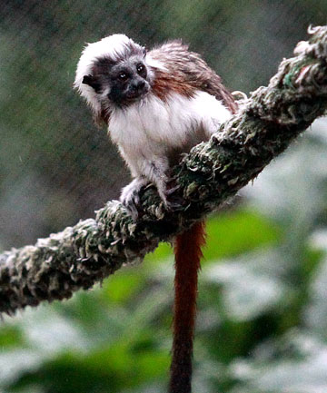 Brooklands Zoo's cotton-top tamarin needs a name. The public are being asked to vote on their favourite name from Chico, Chica, Yari and Inca.