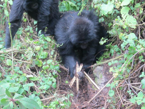 Young gorillas destroying snares