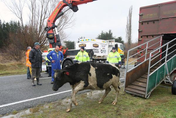 cave cattle rescue