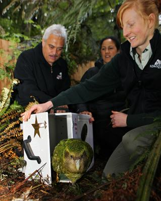 STAR ATTRACTION: Sirocco the kakapo takes his first tentative step onto Maungatautari mountain as, from left, Karaitiana Tamatea, LeeAnn Sperling-Muntz and Jo Ledington look on.