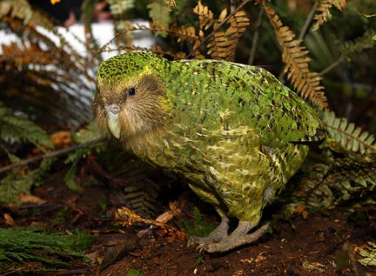Sirocco the kakapo gets the first look of his new enclosure on the Maungatautari Ecological Island.