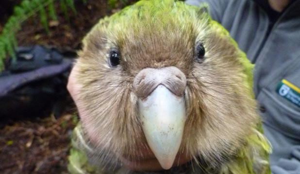 Barnard the kakapo