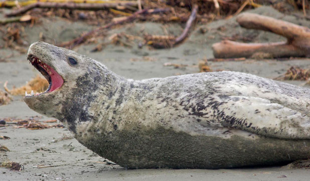 Dog owners have been warned to keep their pets clear of a leopard seal at Caroline Bay.