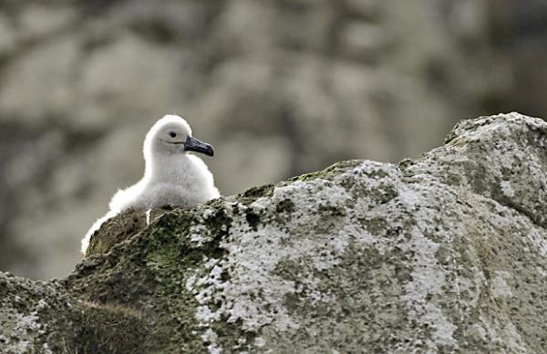 A Campbell Island albatross chick on Campbell Island