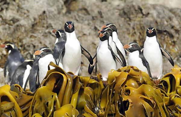 Snares crested penguins on Snares Island in the Sub Antarctic