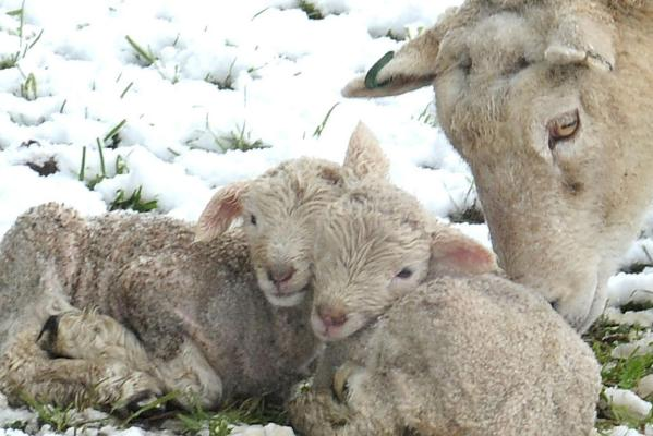 Cold lambs