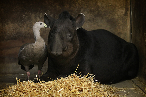 FAMILY: Gerald has spent the past 10 years living with the zoo's pair of tapirs, Mr and Mrs Branco.