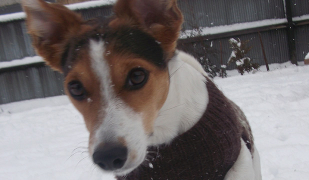Mac the fox terrier