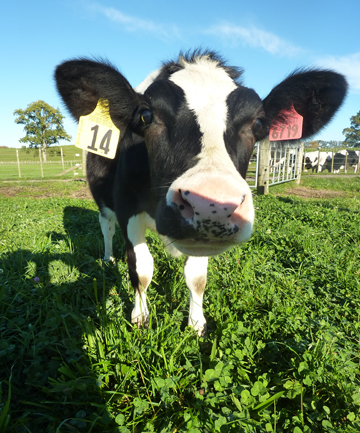 The cow is called Daisy and is about 11-months-old.