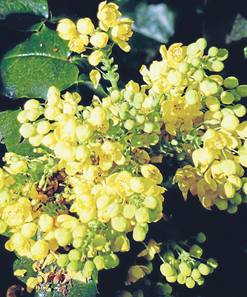 BRIGHT BUST: You can't go past canary yellow mahonias.
