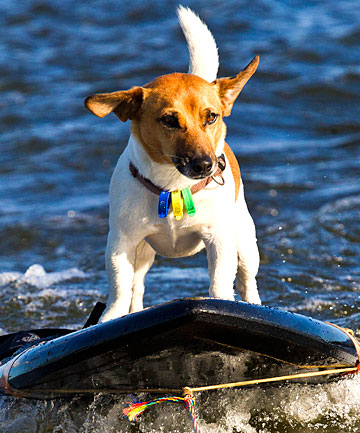 Shorty the Jack Russell on the water