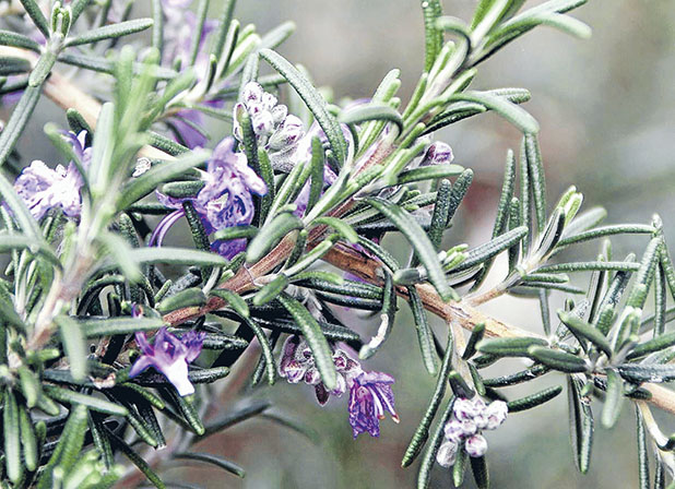SPREAD OUT: Rosemary is one herb that likes to sprawl.