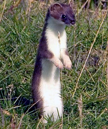 stoat std