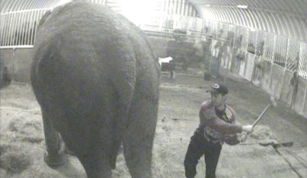 A still photograph taken from video shows a groom hitting Anne the elephant in a undated handout photograph received from Animal Defenders International in London.
