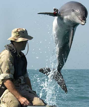 A 2003 file photo of K-Dog a bottle nose dolphin belonging to Commander Task Unit leaps out of the water in front of Sergeant Andrew Garrett while training near the USS Gunston Hall operating in the Arabian Gulf.