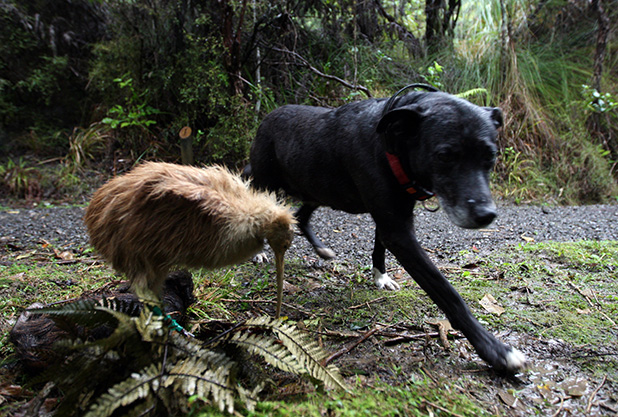 NEW TRICKS: A dog undergoes kiwi avoidance training on the Coromandel.