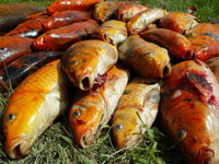 Koi carp have exploded in number in the lower Waikato River basin.