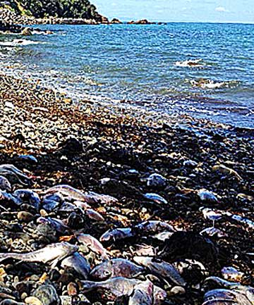 Dead snapper litter the Coromandel Peninsula from Port Jackson to Fantail Bay