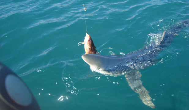 The 7-foot blue shark Wellington fishermen Scott Brenton and Andrew Harding encountered